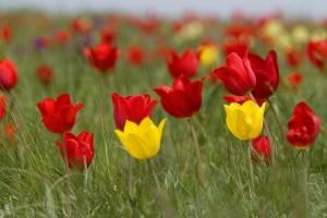 Фестиваль-тюльпанов-6